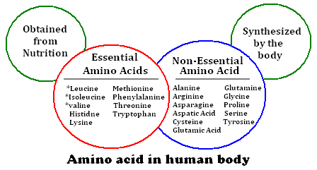 functions-of-amino-acids